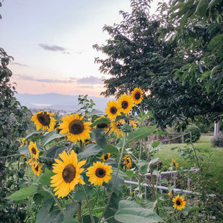 Sunflowers by Spartan orchard