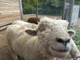 Cole the sheep
