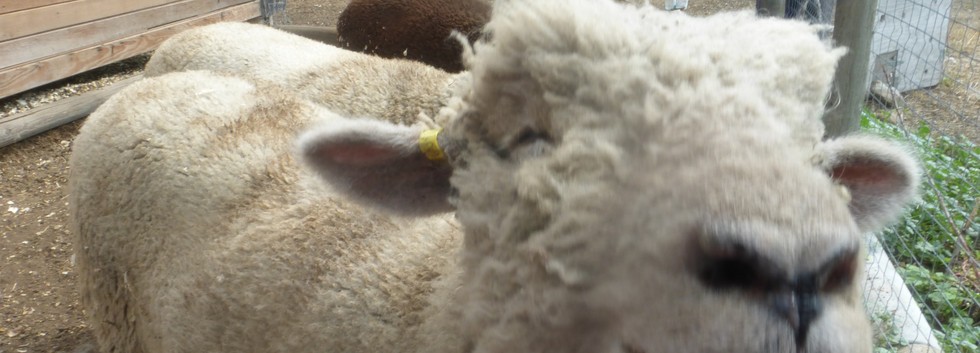 Cole our sweet heart sheep