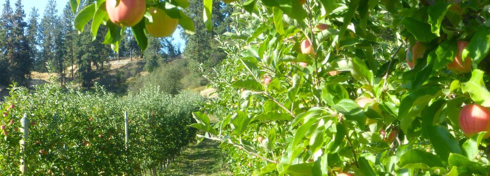 Gala apples before harvest
