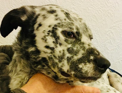 Integrative Care of Sid's Mast Cell Tumour