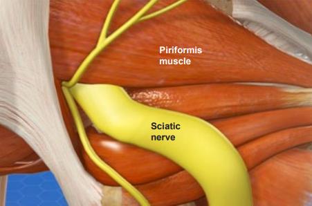 sciatic nerve