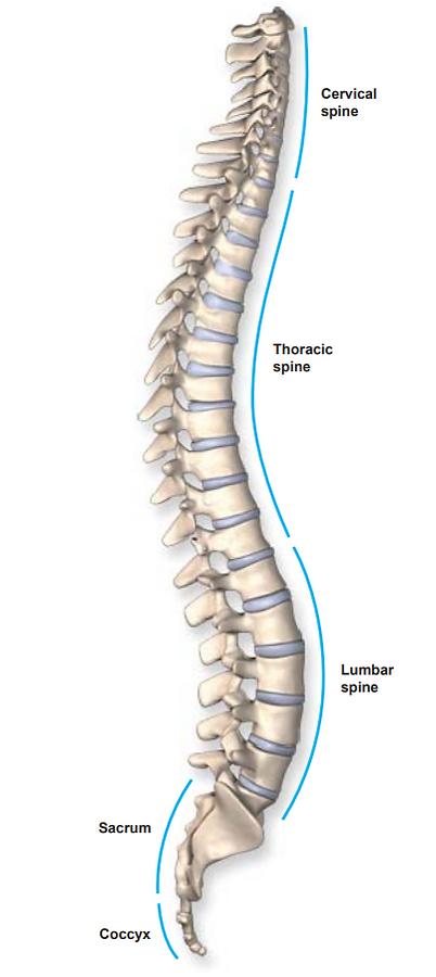 cervical spine, thoracic spine, lumbar spine, sacrum