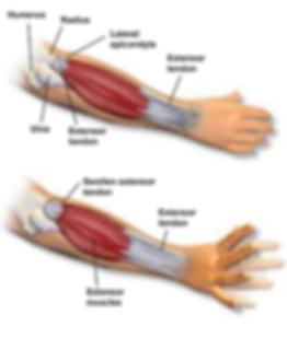 humerous, ulna, extensor tendon