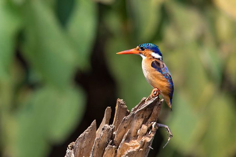 The Malechite Kingfisher