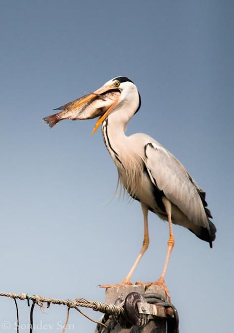 The Grey Heron