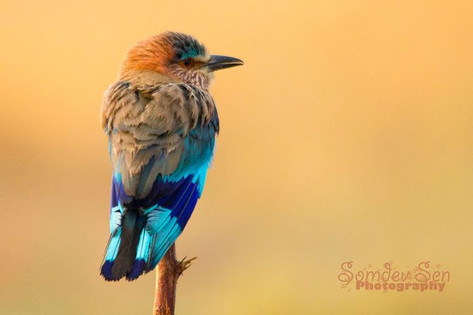 The Indian Roller