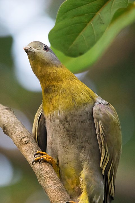 The Yellow Footed Green Pigeon