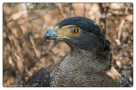 The Serpant Eagle