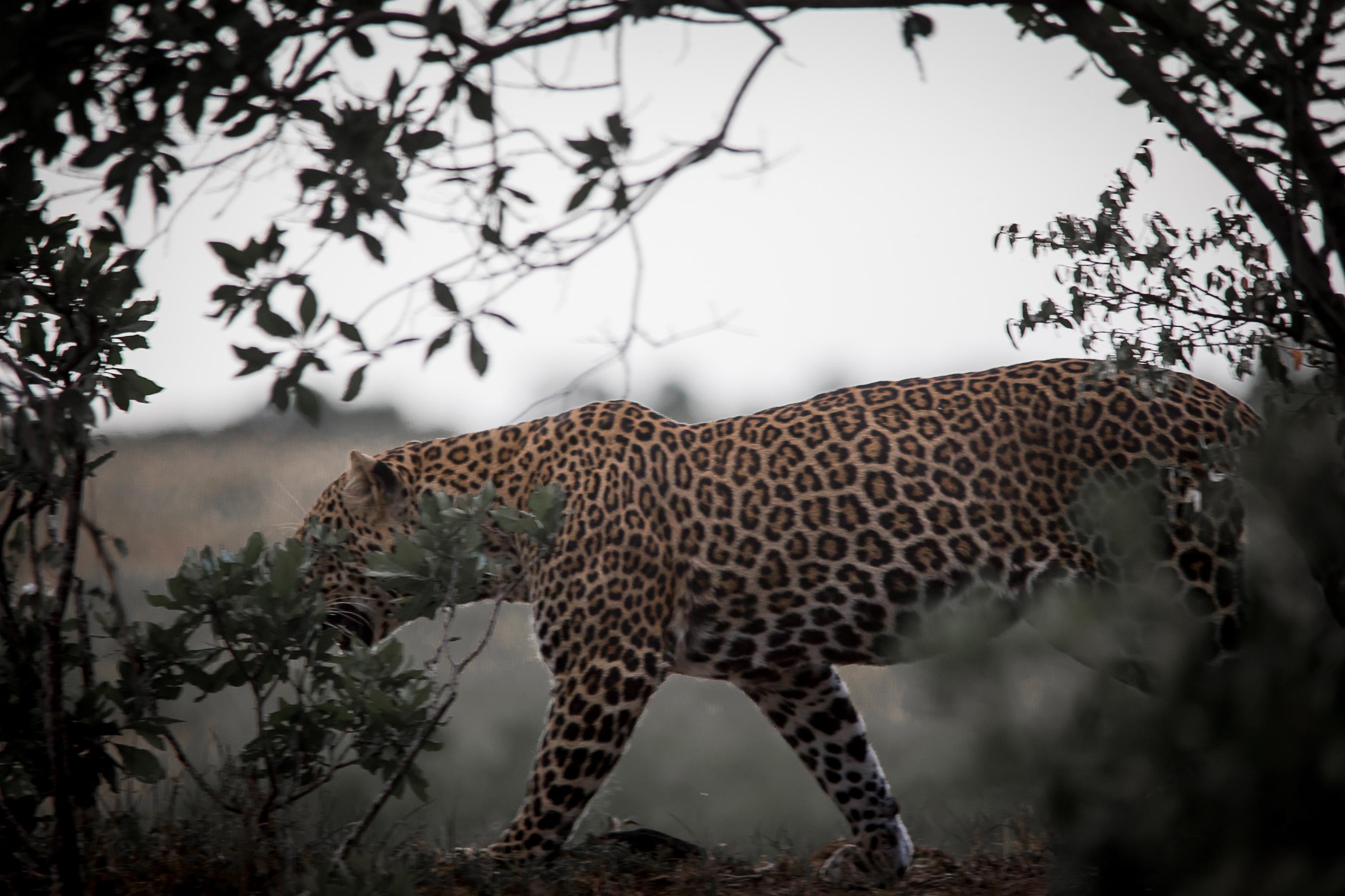 Sinister Mista Leopard