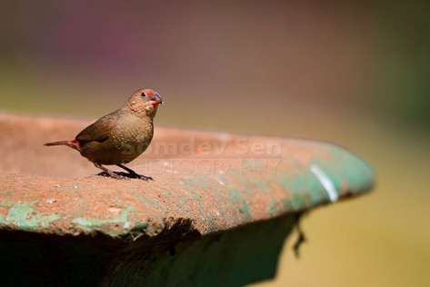 Red Billed Firefinch - Juvenile