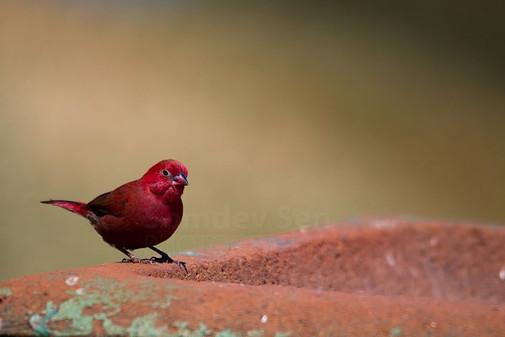Adult Redbilled Firefinch