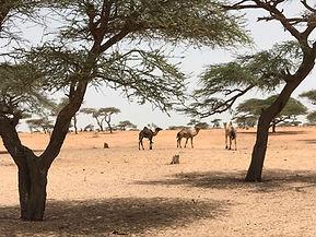 désert pré-sahélien_GUELACK_DROMADAIRES_