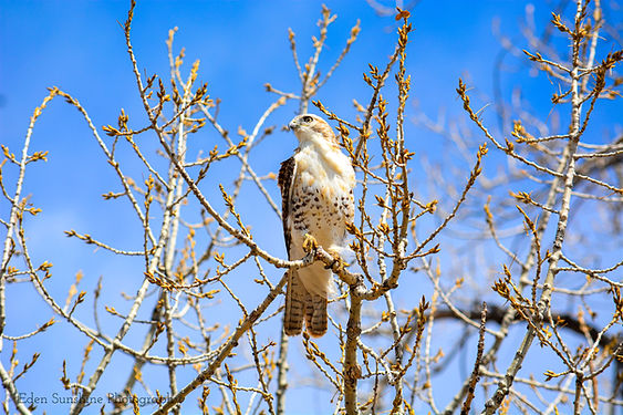 Credit to Eden Ravecca, Red-tailed Hawk.