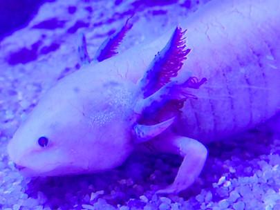 Clin d'œil sur... l'Axolotl d'Oniria