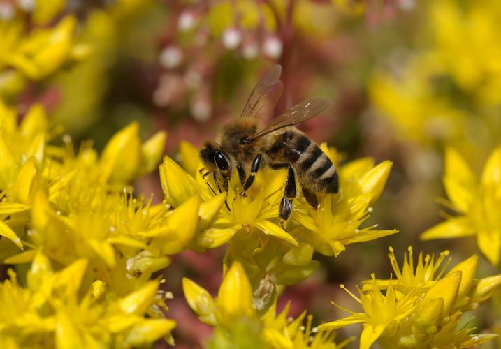 Bijen-Hommels_001.jpg