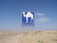 Overstekende kamelen, Tunesië - Saffraan Reizen