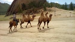Mongolie kamelen