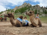 Kamelen in Mongolië - Saffraan Reizen