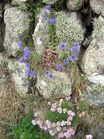 best-scabious-thrift-lichen-blog_edited.