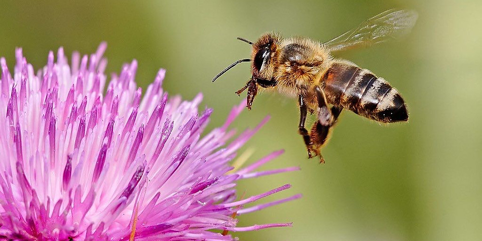 Honeybees - why are they so important?