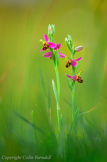 BEE ORCHID 8.91.26.jpg