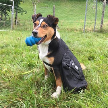 Hofhund Fiona apportiert und trägt die Packtaschen
