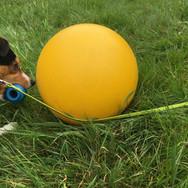Fiona apportiert ihr Lieblingsspielzeug neben dem Treibball