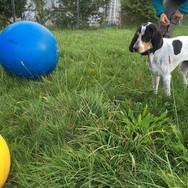 Treibball für (fast) alle Hunde