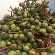 Minikiwi- Ernte