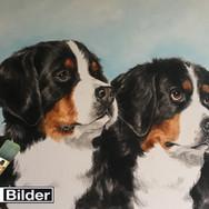 2 Bernen Sennenhunde