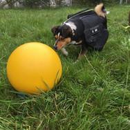 Treibball als Übung für die Tierherde