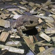 Beim Streifzug nachts entdeckt- die Erdkröte