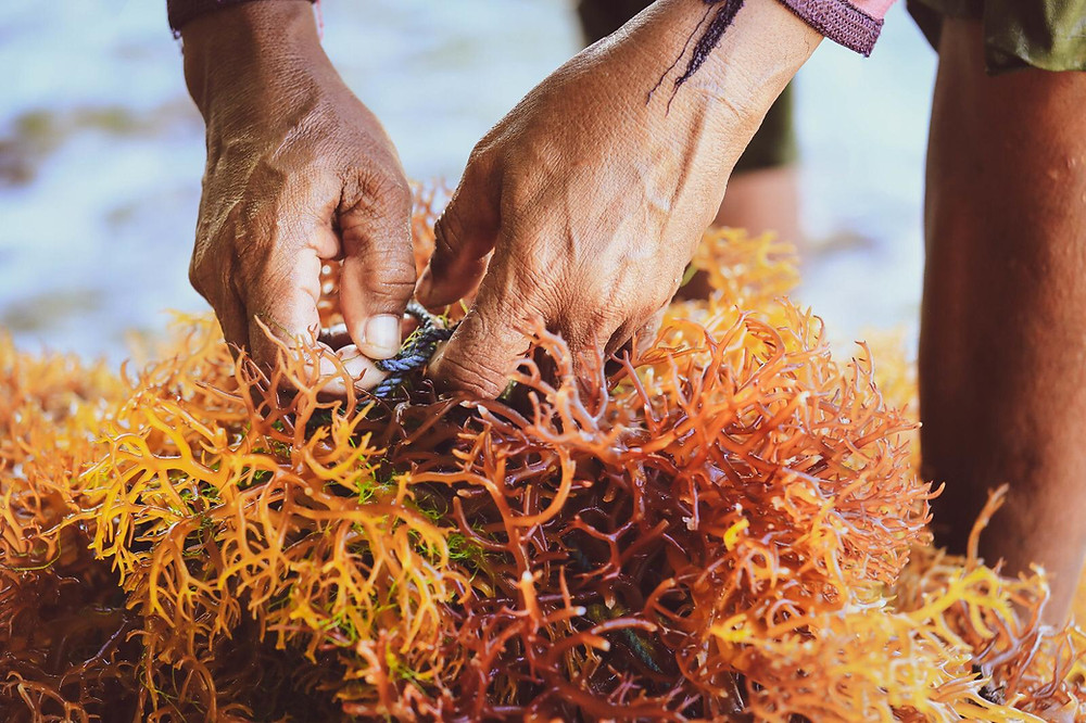 Wild Crafted Sea Moss - Wixar Naturals