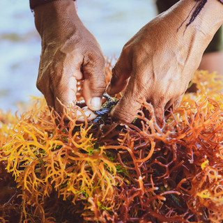 Sea Moss.
