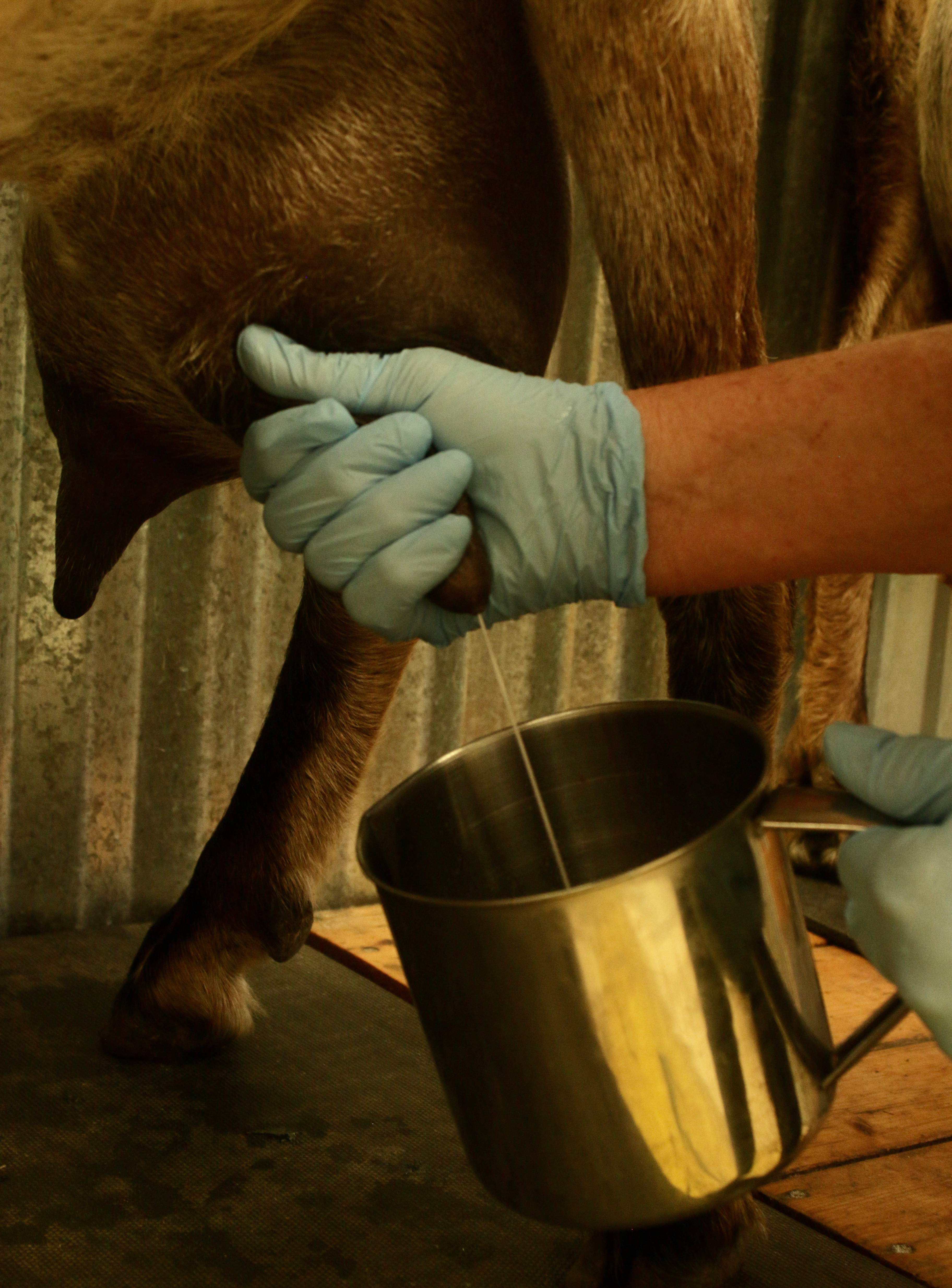 Milking Your Goat!