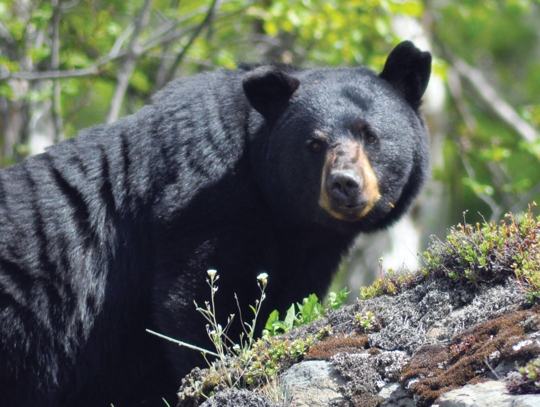 bear-mtn-blackbear-lede