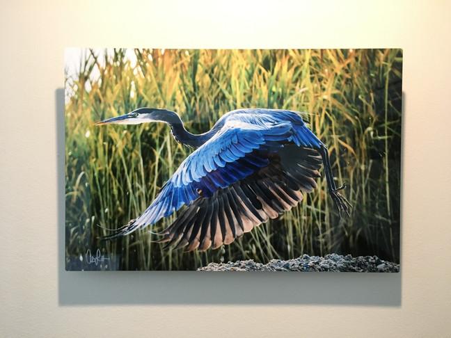 Great Blue Heron (Take Off)