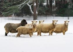 True Vine Farm Sheep.jpeg