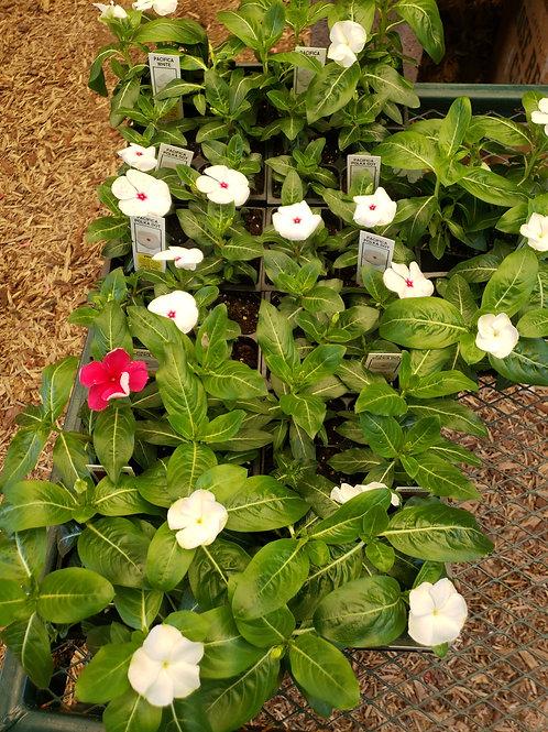 Vinca Flower Pack
