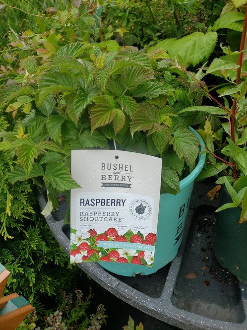 Raspberry 'Shortcake'