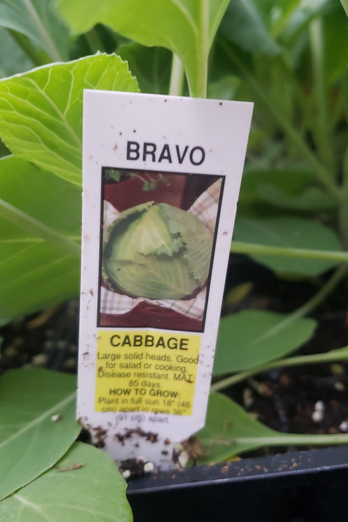 Cabbage 'Bravo' 4-pack