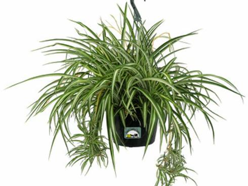 """10"""" Spider Plant Basket"""