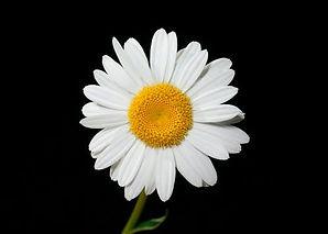 daisy.jpeg