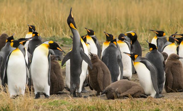 Pingüinos_con_crías.jpg