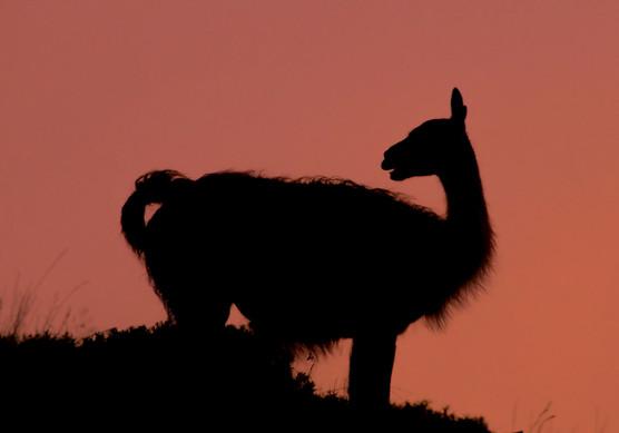 guanaco amanece 2.jpg