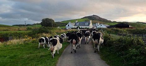Wee isle dairy cows.jpg