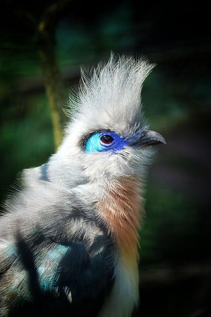 domere-cuckoo-3630578.jpg