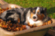 Dog Portrait Aussie.jpg