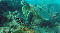 Hanuma Bay Hawaii Turtles